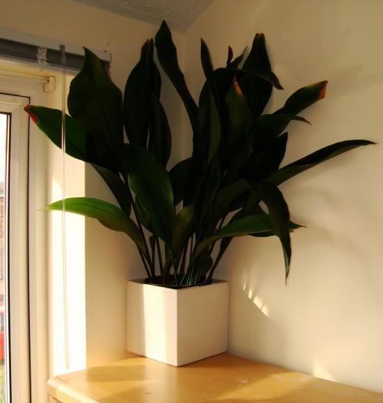 Цветы растущие в тени комнатные