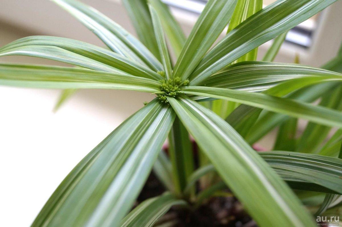 Циперус: 51 фото ухода и поддержания условий для растения 571