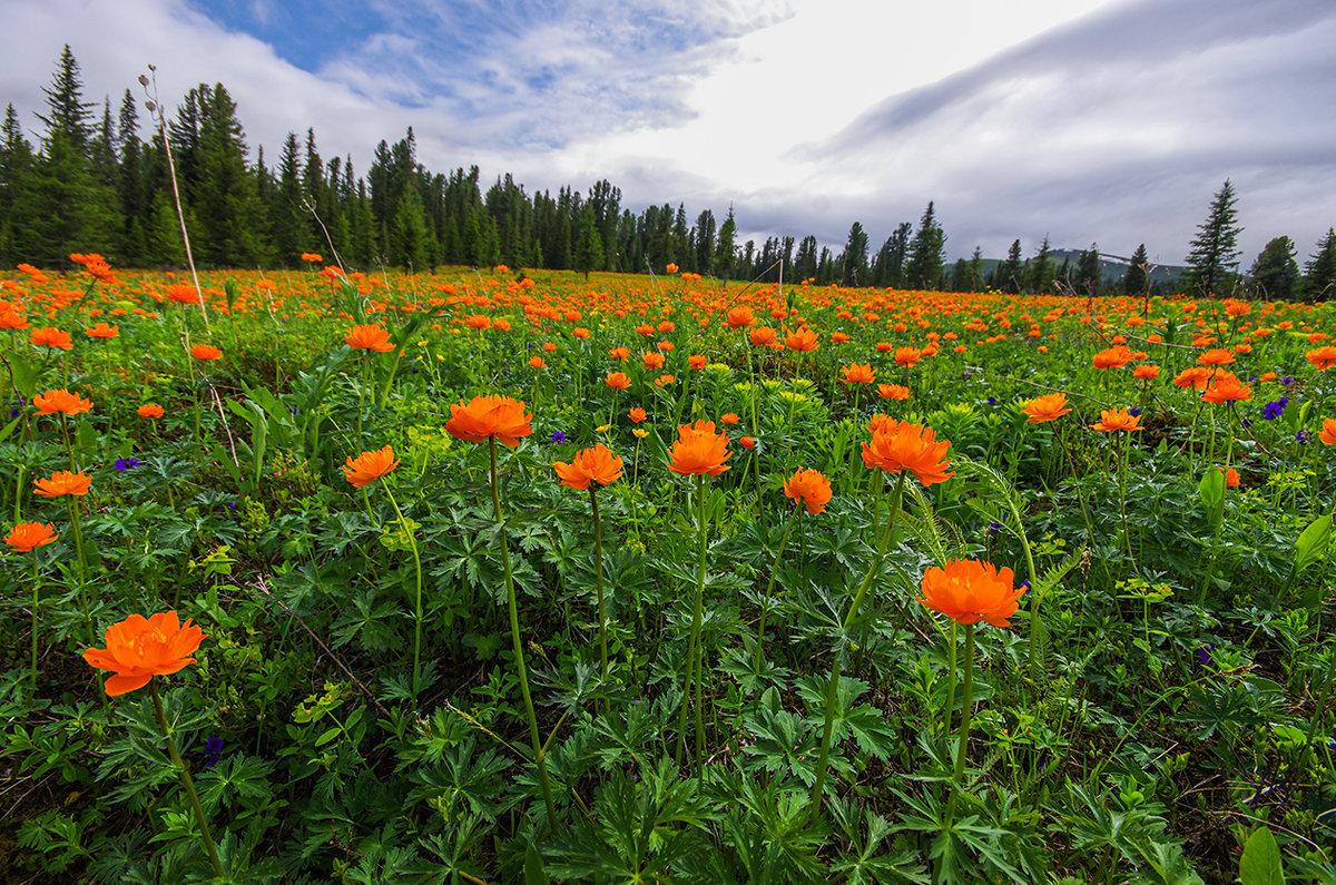 Цветы алтайского края фото и названия