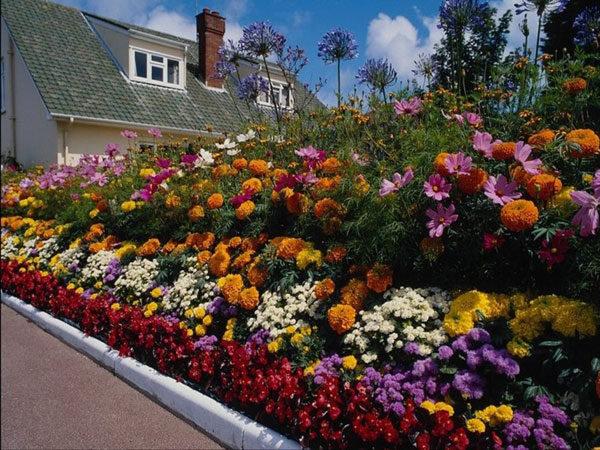 Рассада многолетних цветов для клумбы 10
