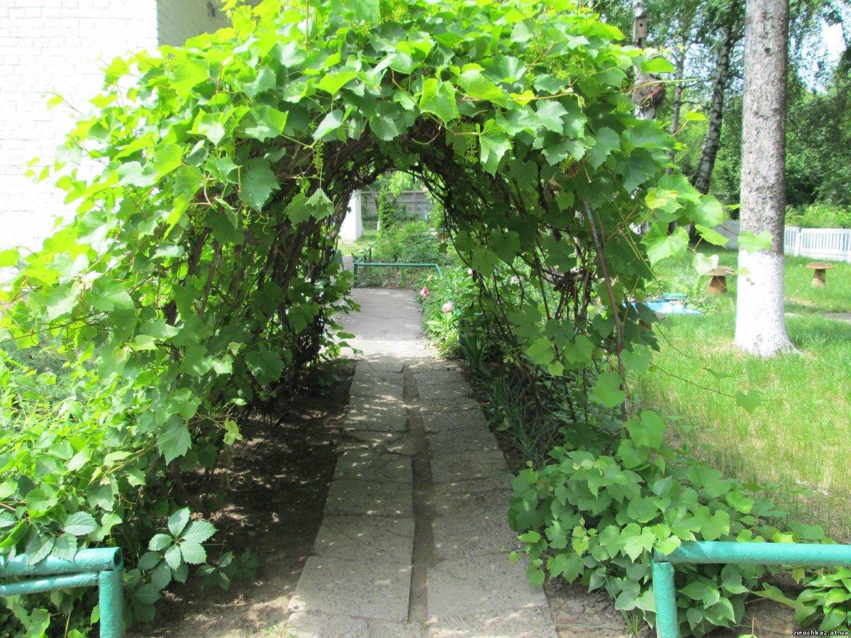 Арка для винограда своими руками на даче