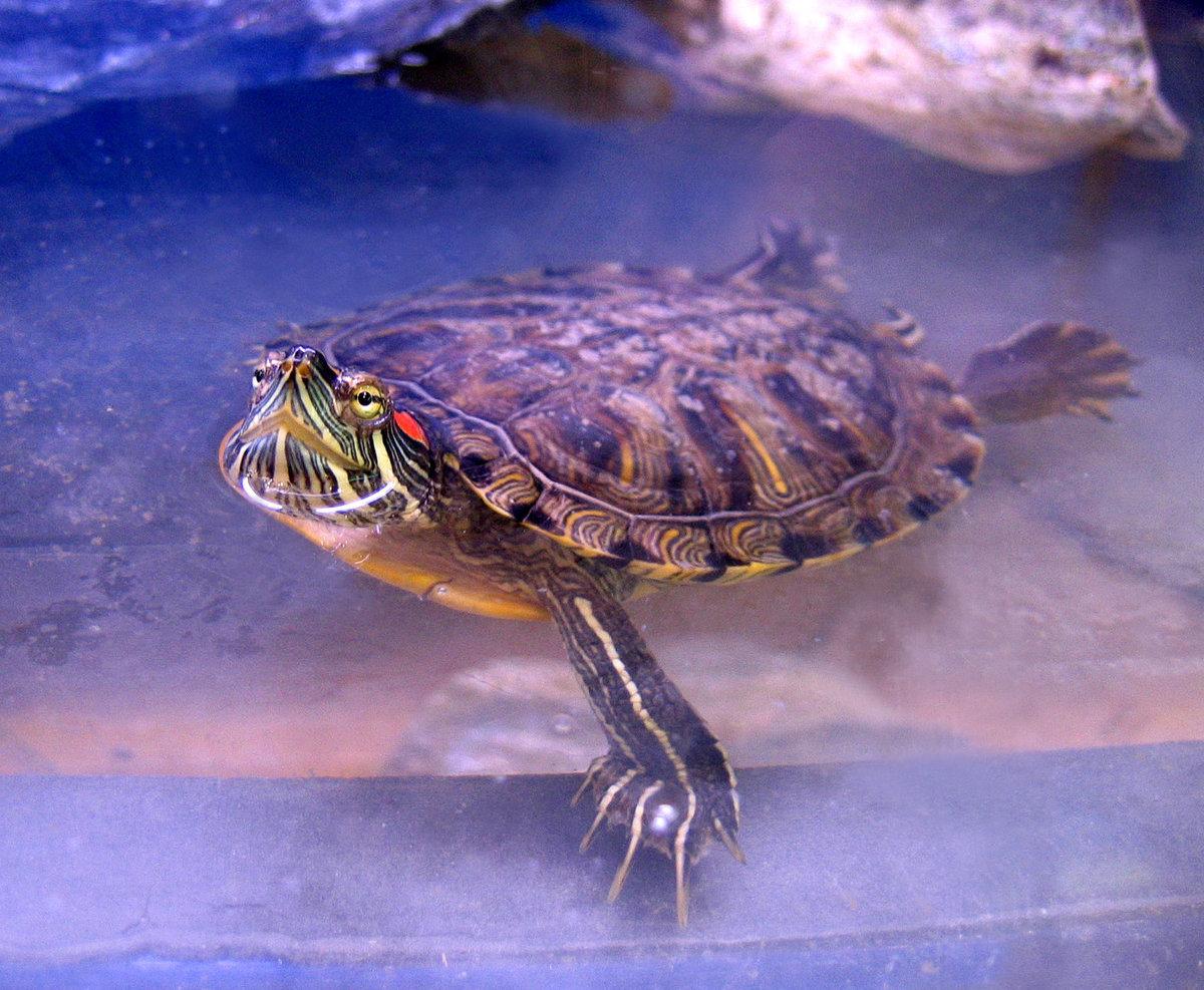 Содержание водной черепахи в домашних условиях