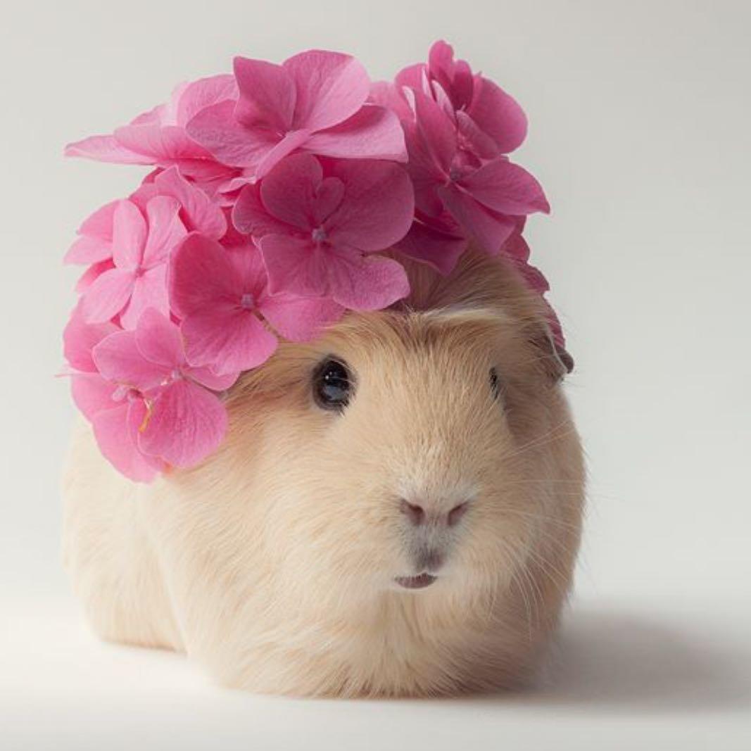 Фото морские свинки в цветах