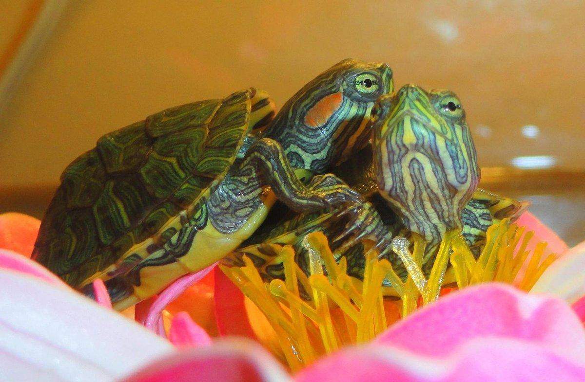 С кем содержать красноухую черепаху в домашних условиях