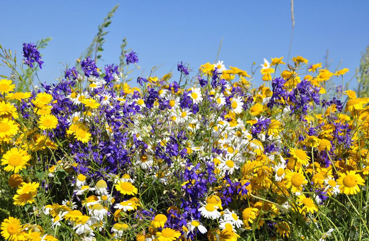 Желтые дикорастущие летние цветы подмосковья фото каталоги
