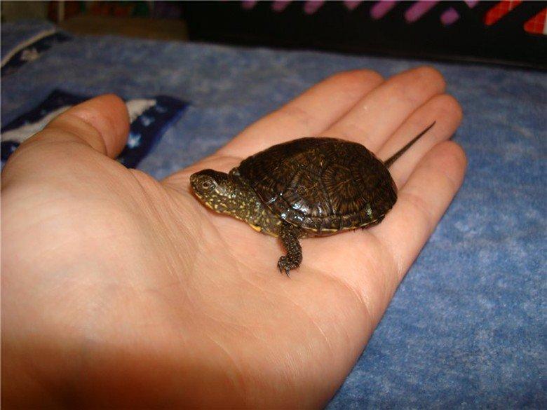 Речная черепаха в домашних условиях 990