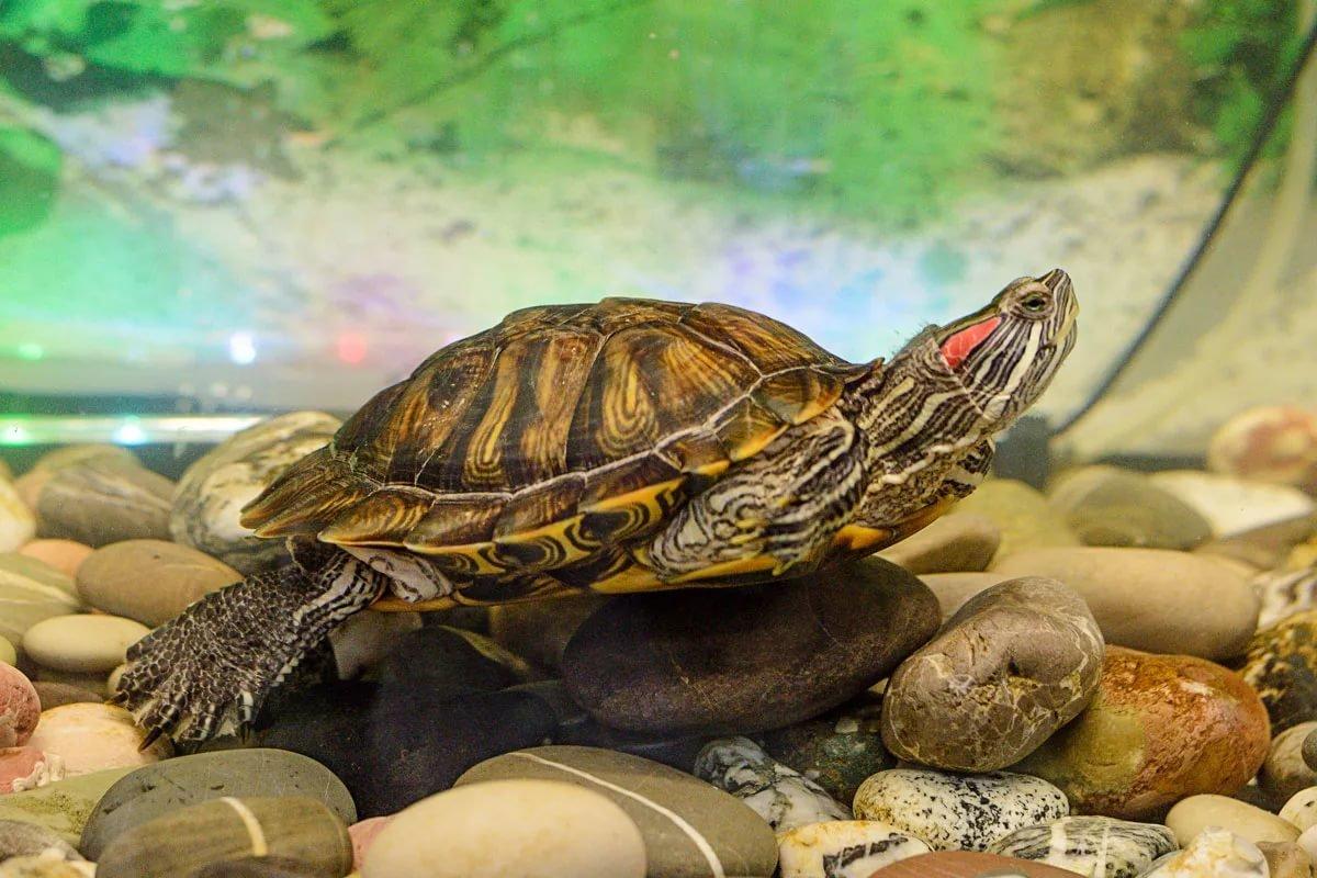 Как выглядит беременная красноухая черепаха 23
