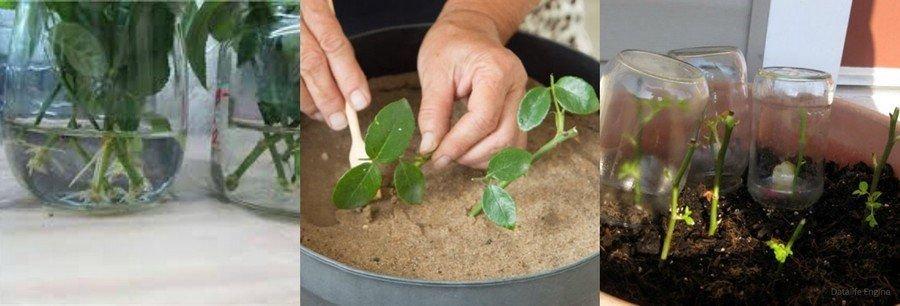 Грунт для выращивания роз из черенков 81