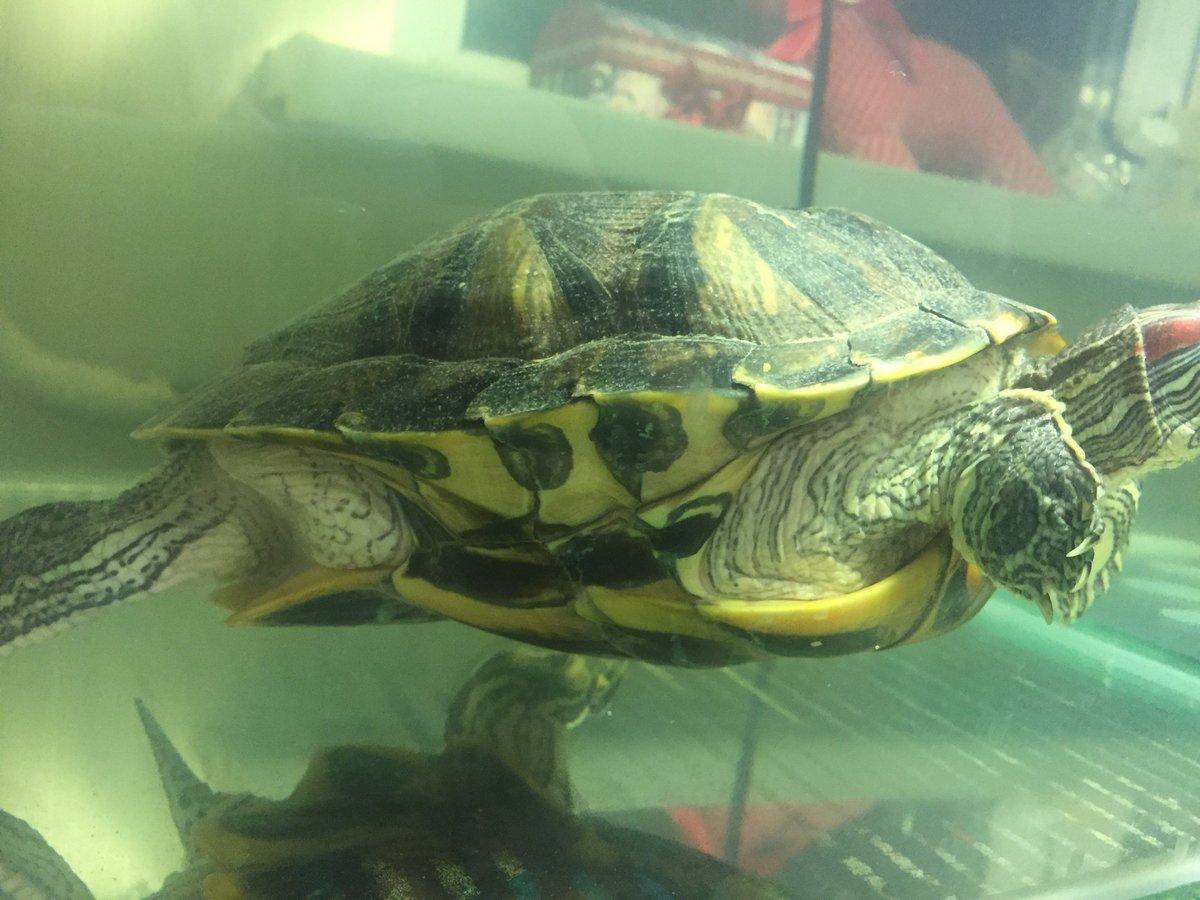 Как выглядит беременная красноухая черепаха 13