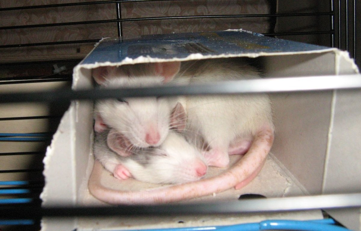 Декоративные крысы, описание, разновидности, уход, содержание 2