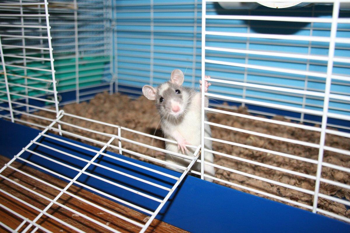 Декоративные крысы, описание, разновидности, уход, содержание 45
