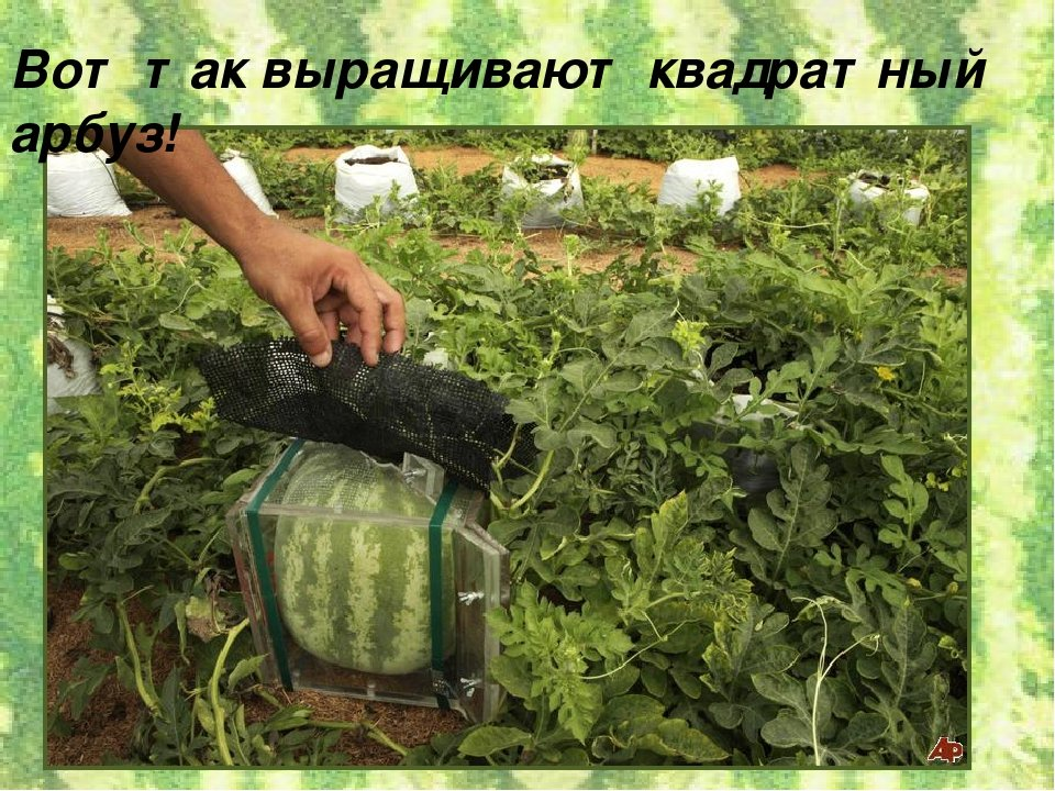 Выращивание арбуза наша дача 327