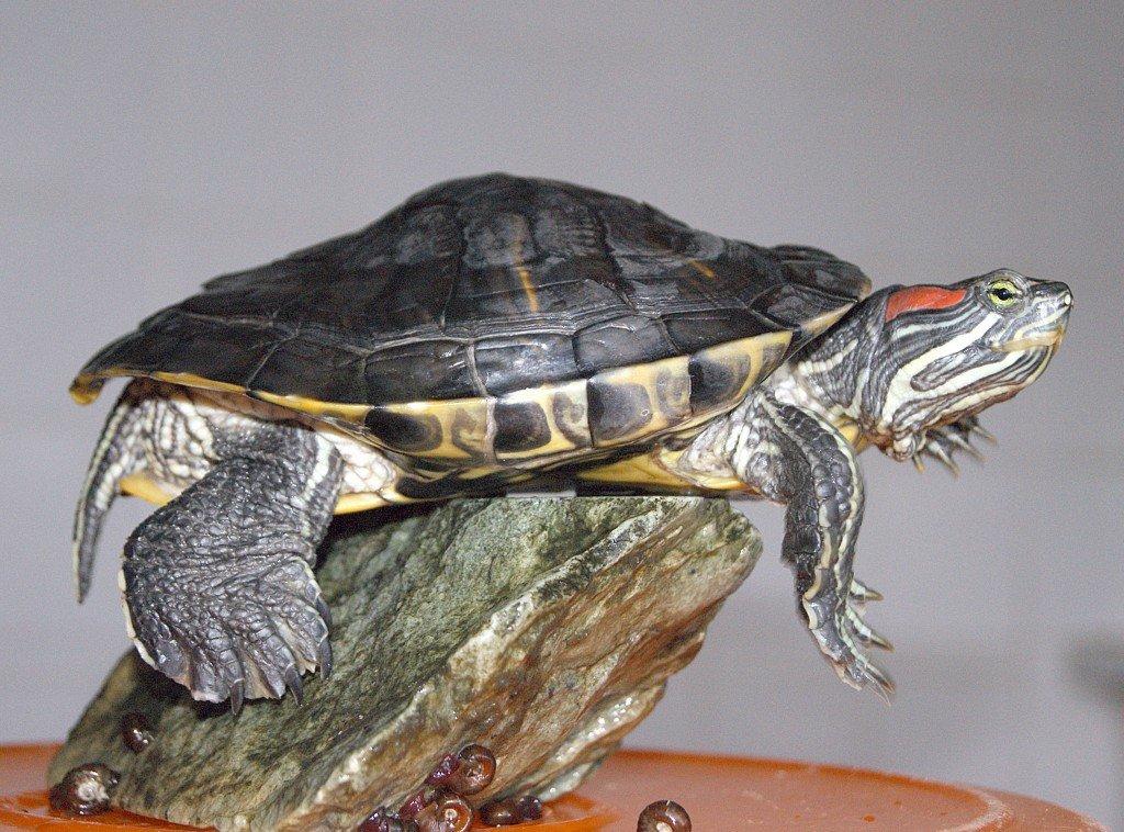 Как выглядит беременная красноухая черепаха 11