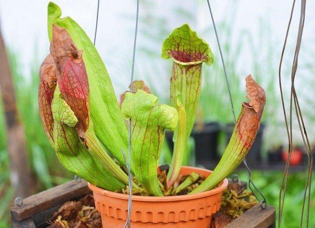 Выращивание хищных растений 14