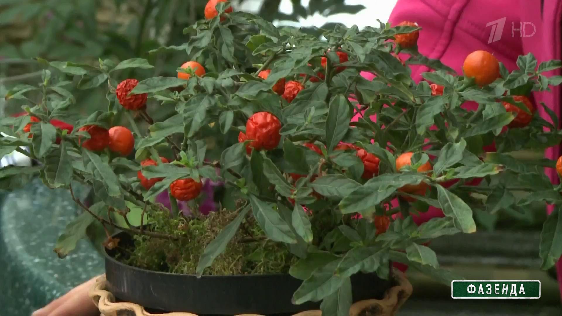 Домашние цветы паслен фото