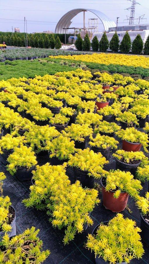 питомник растений — Питомник декоративных растений Голдрайз — Краснодар, фото №2