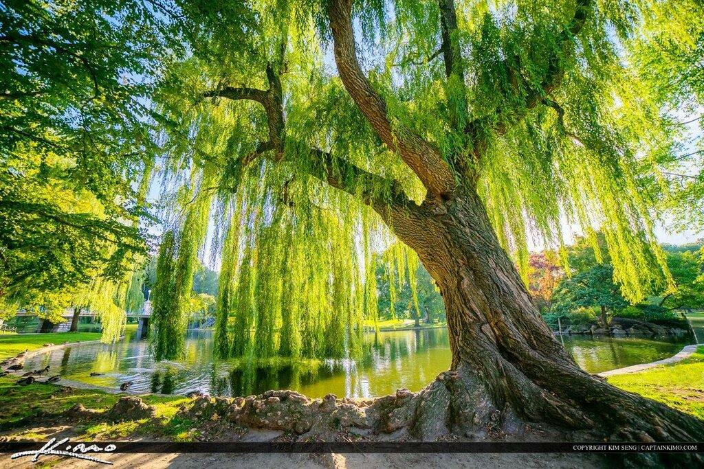 ракита дерево фото как сажать время карантина
