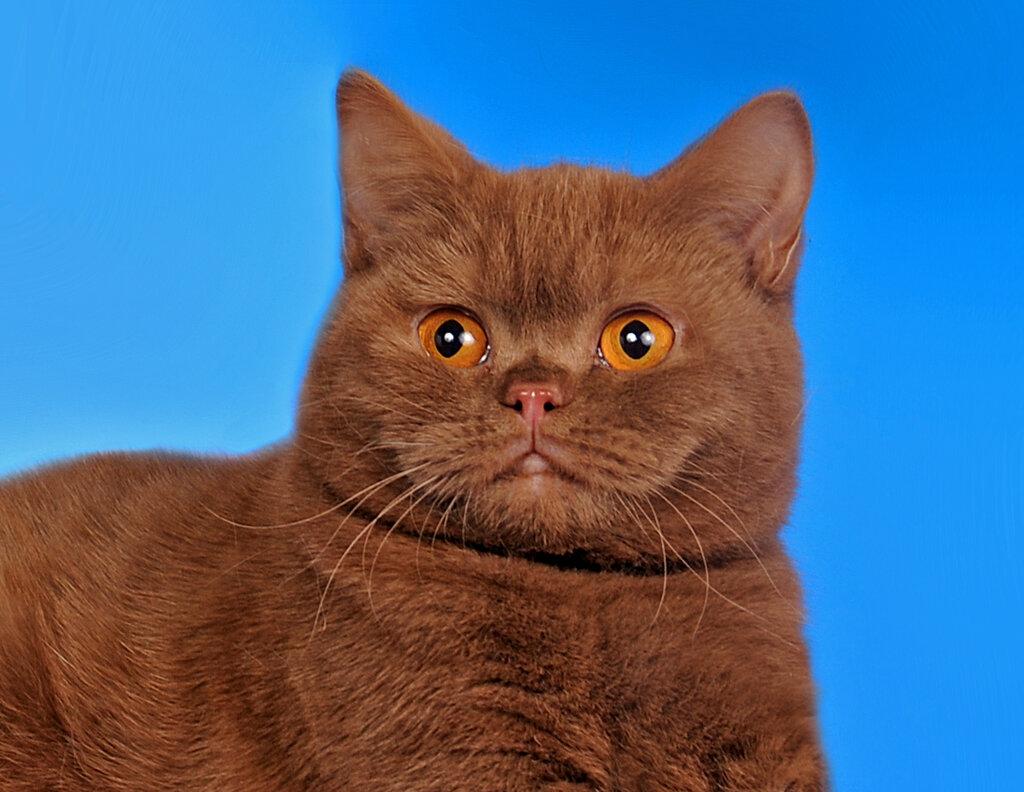 днем британец кот шоколадный картинки необходимо остановить весь