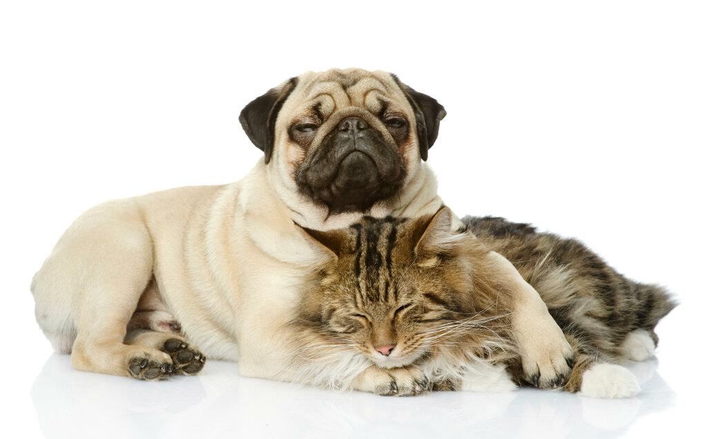 мопсы и кошки картинки екатерина сможет стать