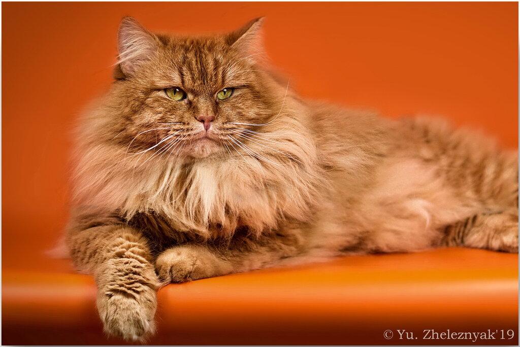 Клубы сибирских кошек москва ночной клуб москва обнинск