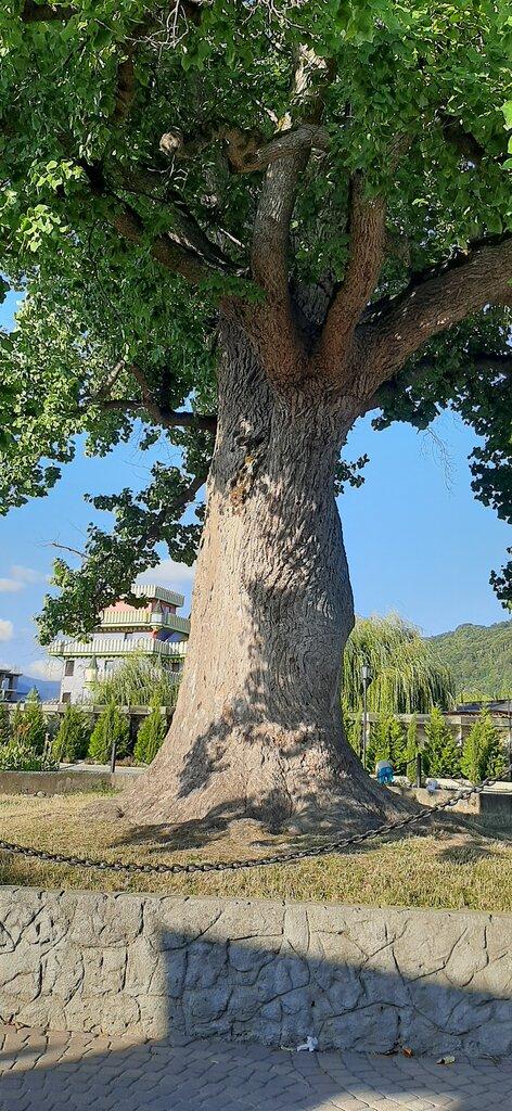 платановые деревья в сочи фото женщин этот