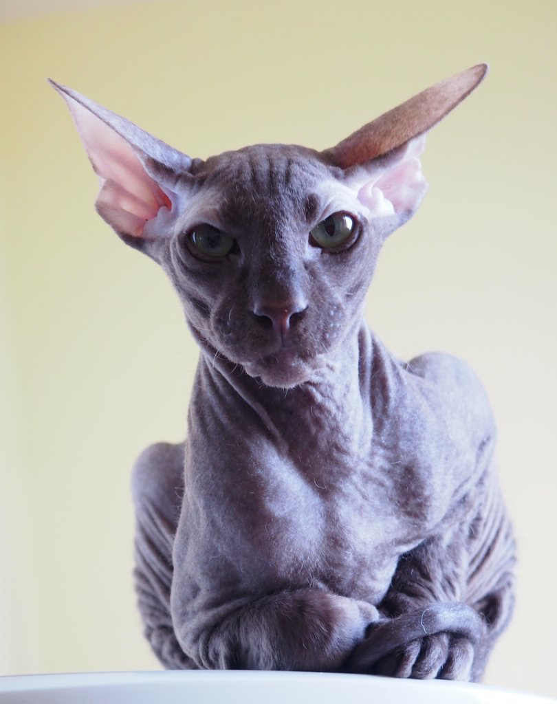 Peterbald cattery Mureshka, animal breeder, Russia, Moscow, Orekhovy