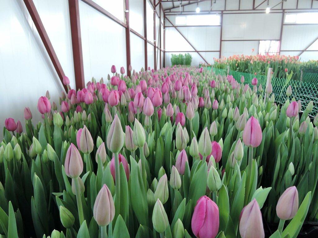 Сорта тюльпанов фото и названия с описанием был голым