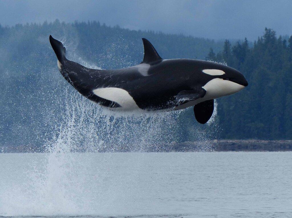 Картинки, картинки китов убийц