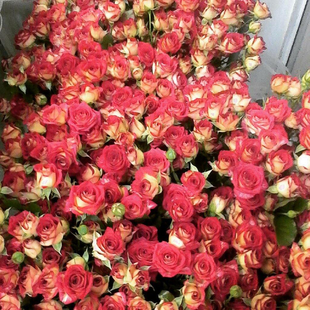 делит миллион алых роз цветы фото они