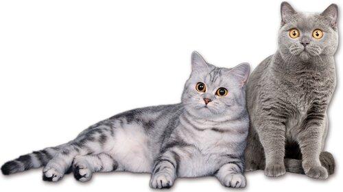 ผลการค้นหารูปภาพสำหรับ британский кот и кошка