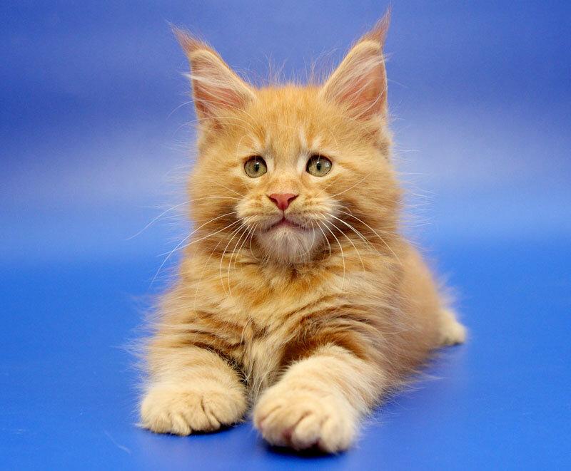 питомник животных — Питомник кошек Мейн Кун Licacoon — Москва, фото №1