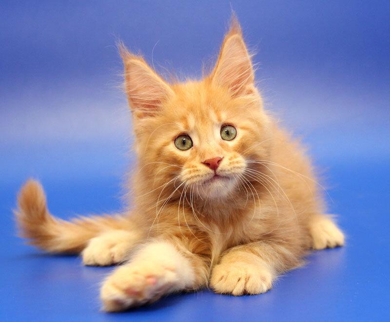питомник животных — Питомник кошек Мейн Кун Licacoon — Москва, фото №2