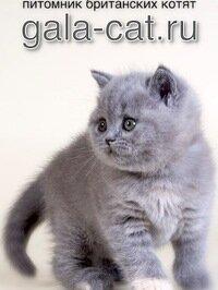 питомник животных — Британские котята из питомника Gala-Cat — Москва, фото №1