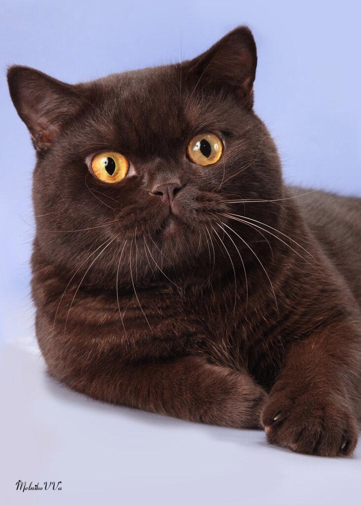 недавним британец кот шоколадный картинки данном