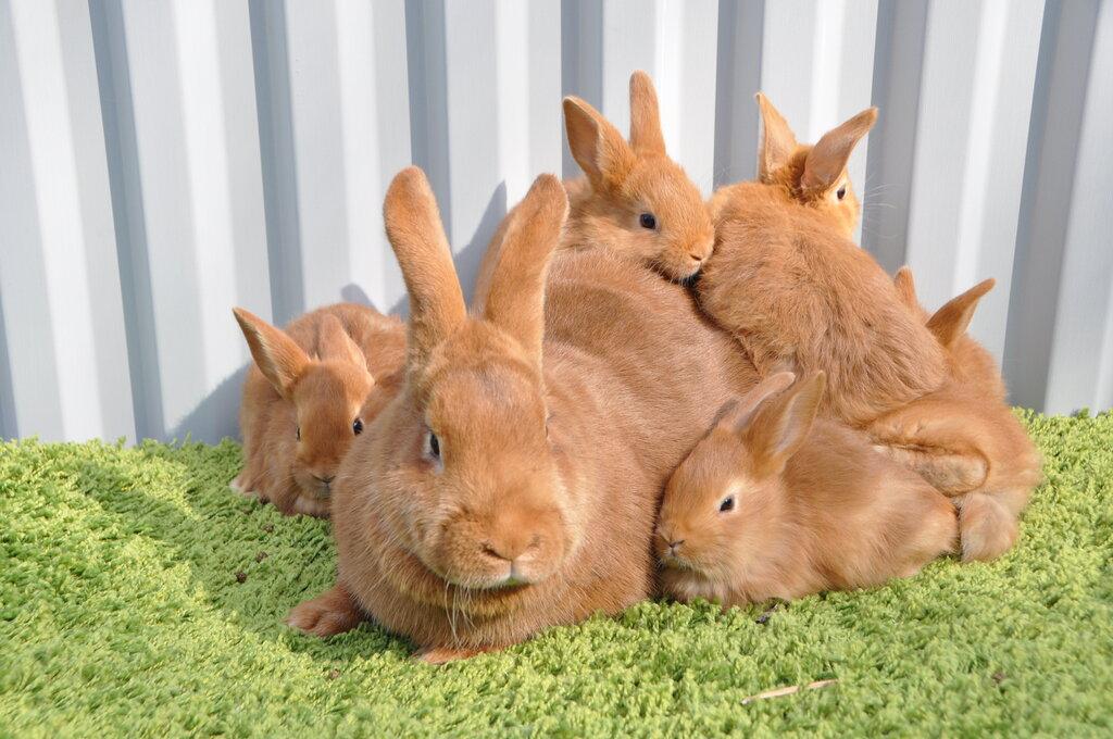 звероферма — Кролики Кролист — Кимовск, фото №3