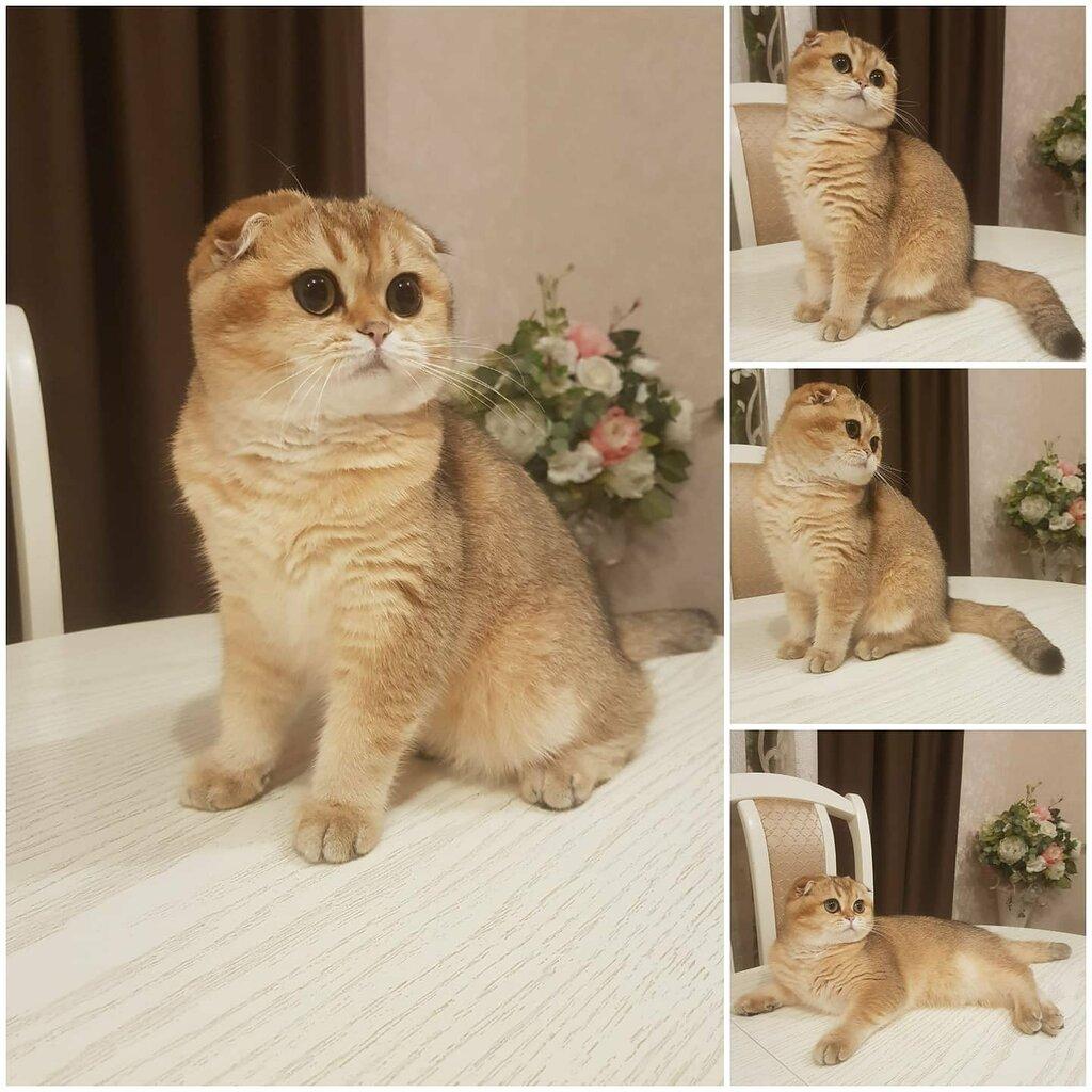 Клуб шотландских вислоухих кошек москва все русские ночные клубы