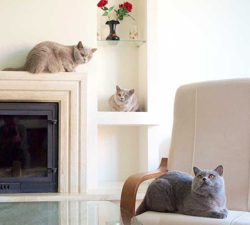 питомник животных — Британские котята из питомника Gala-Cat — Москва, фото №2
