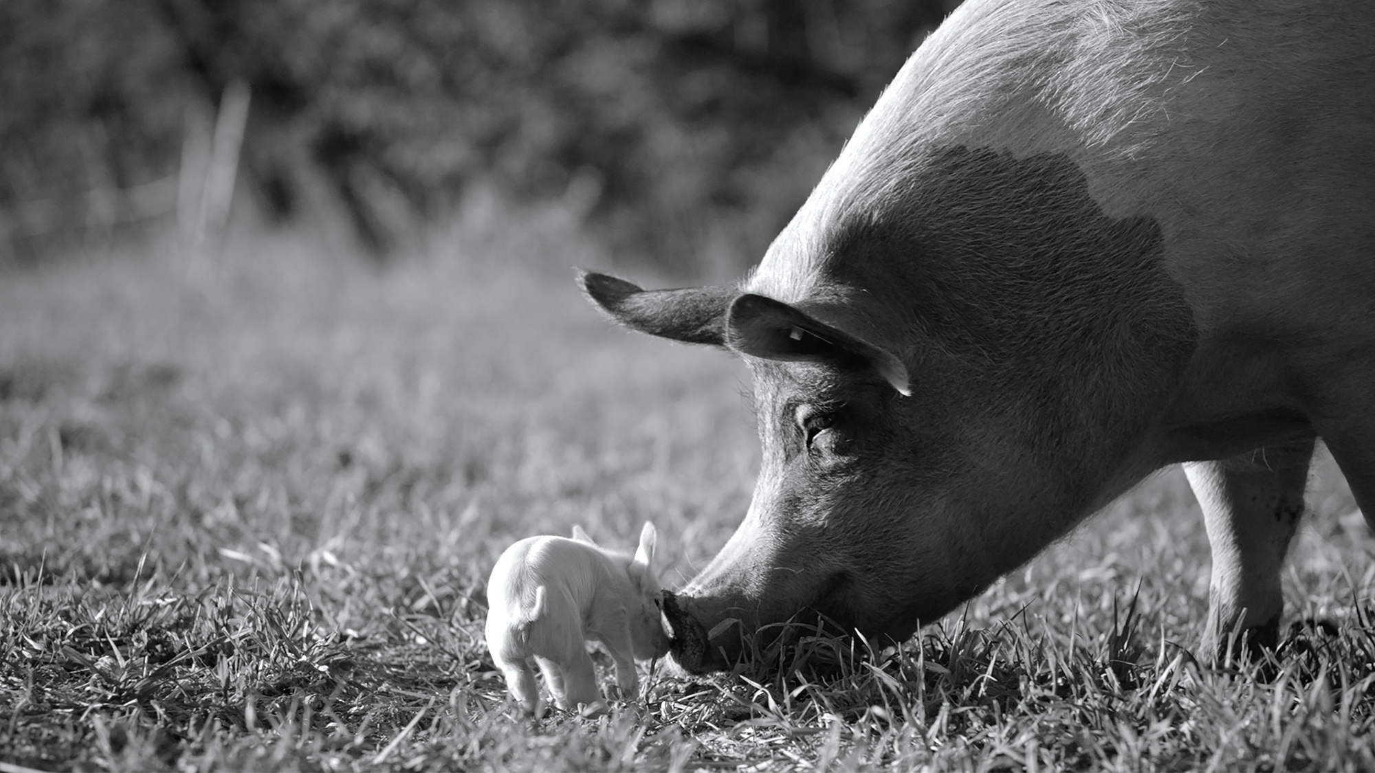 Гунда» Косаковского: Удивительный док про свинью, исполнительный продюсер  которого — Хоакин Феникс — Статьи на КиноПоиске