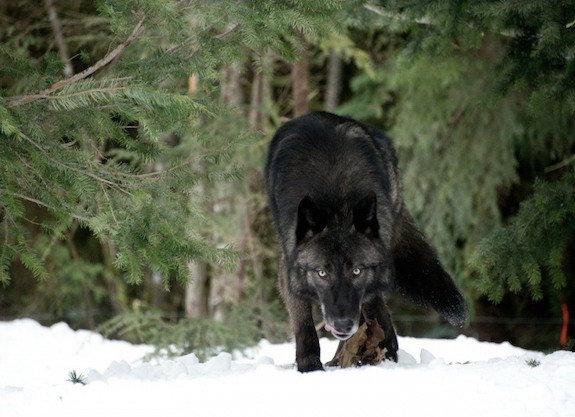 Откарикатуры наГитлера долютоволка: Волки вкино ианимации
