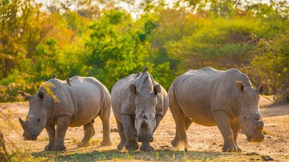 Документальный фильм Flight of the Rhinos, получивший финансирование от Screen Australia