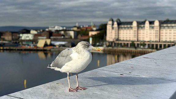 Норвежские чайки терпеливо ждут, пока их сфотографируют / Фото: КиноПоиск