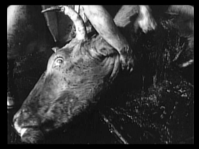 В «Стачке» Эйзенштейна разгром рабочей демонстрации рифмуется со сценами на скотобойне