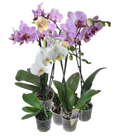 Орхидея - Фаленопсис (1 ствол 70 см)