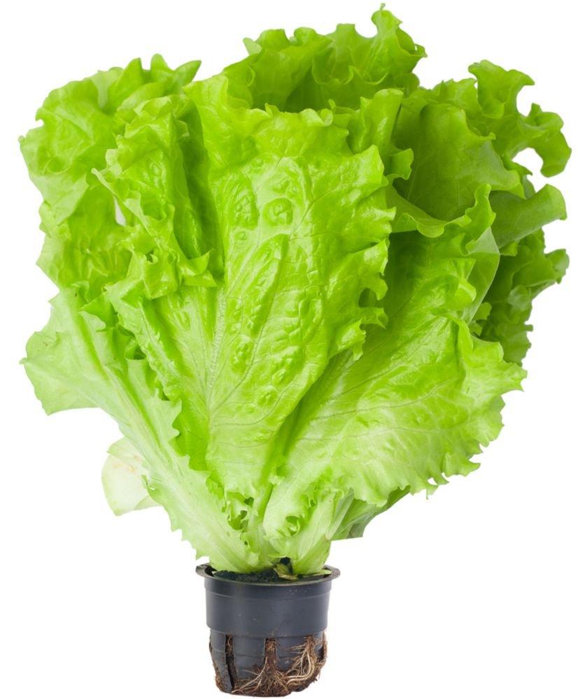 Салат листовой Агрохолдинг Московский
