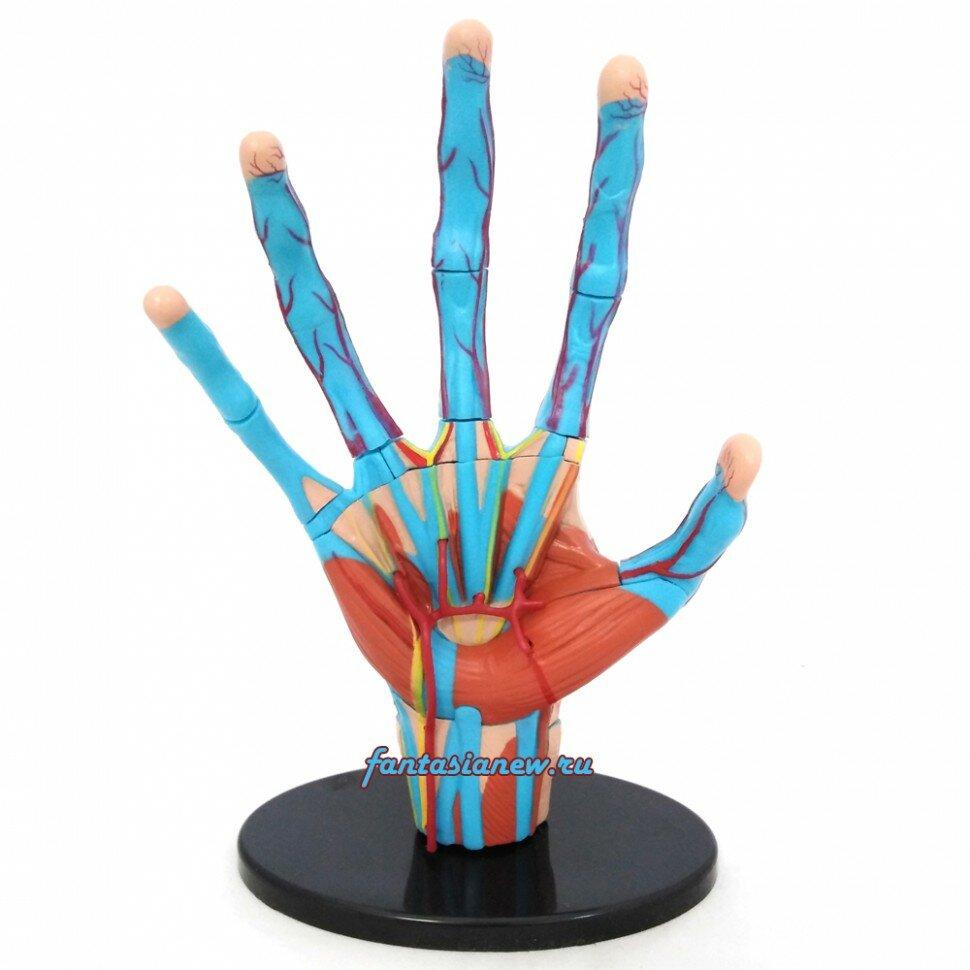 Набор для исследований Edu Toys Анатомический набор SK058