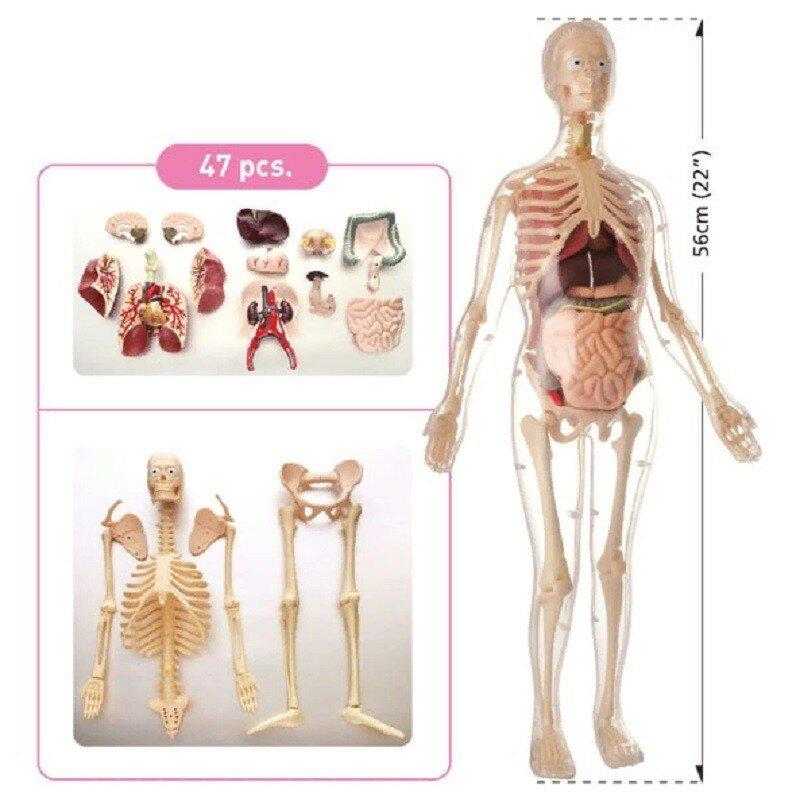 Набор для исследований Edu Toys скелет женщины