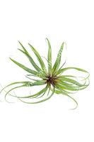 Искусственный суккулент Тилландсия фиалкоцветковая 30H зеленая (Tillandsia ionantha)