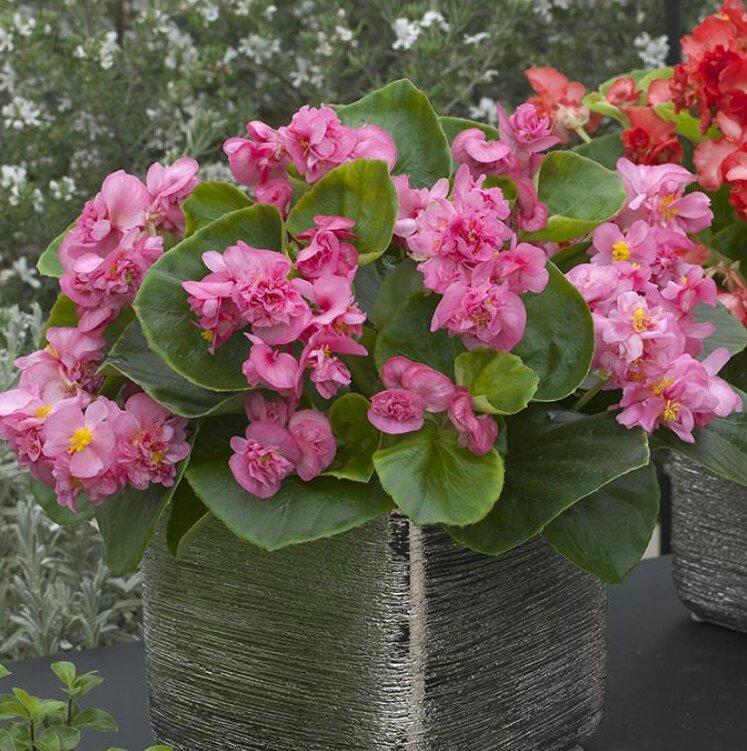 Бегония вечноцветущая (зеленая листва) (Begonia semperflorens)
