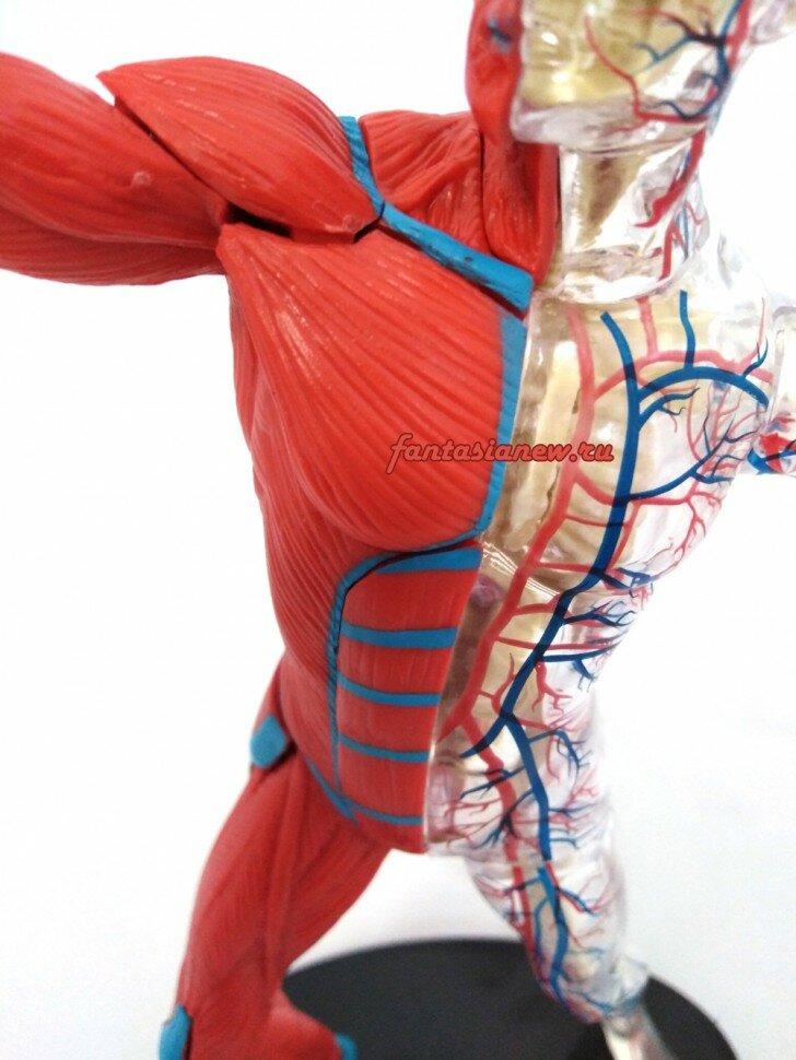 Набор для исследований Edu Toys Тело человека