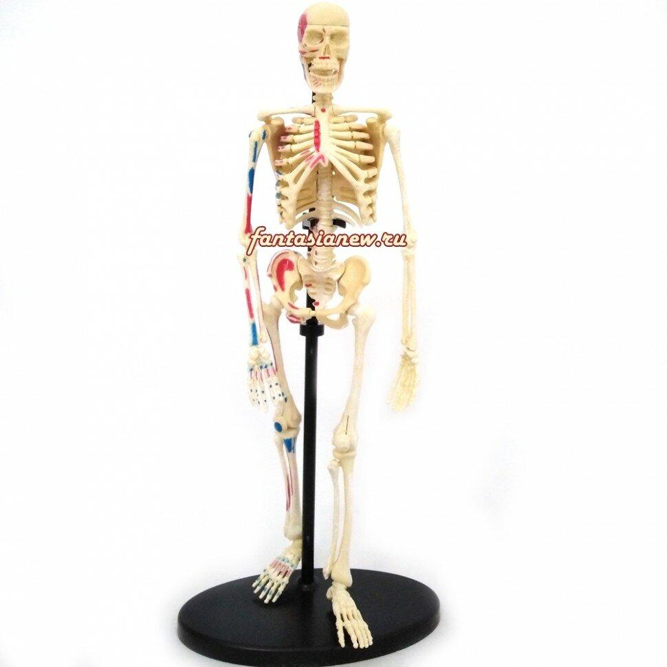 Набор для исследований Edu Toys Анатомический скелет
